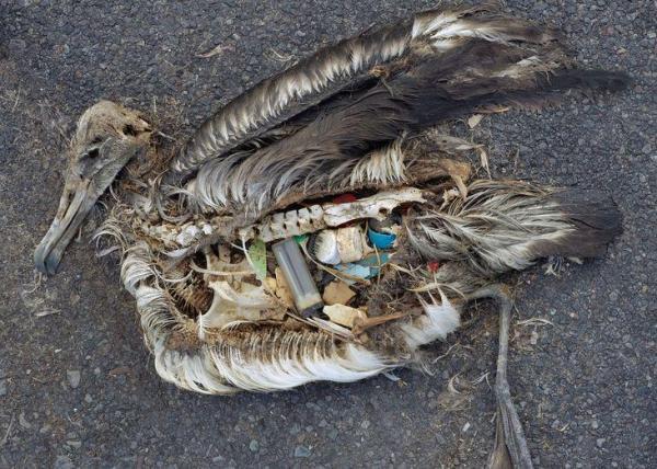 Albatros étouffé de plastiques